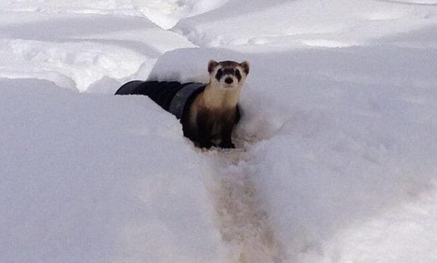 the black footed ferret population