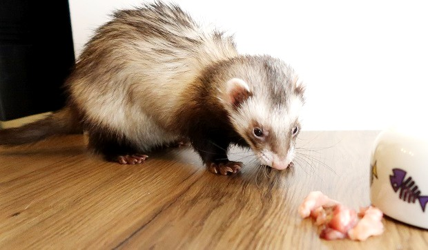 what to feed a sick ferret