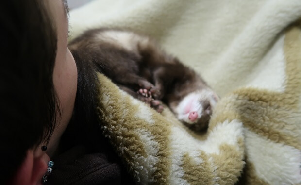 working ferret as support animal