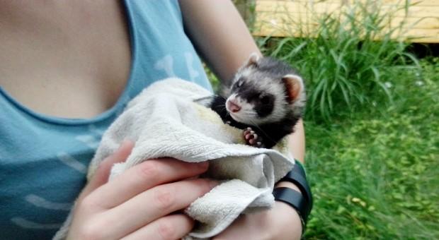 Bathing ferrets when dirty