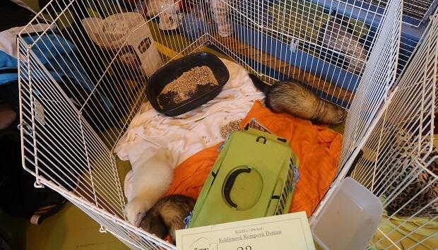 Reduce ferret activity