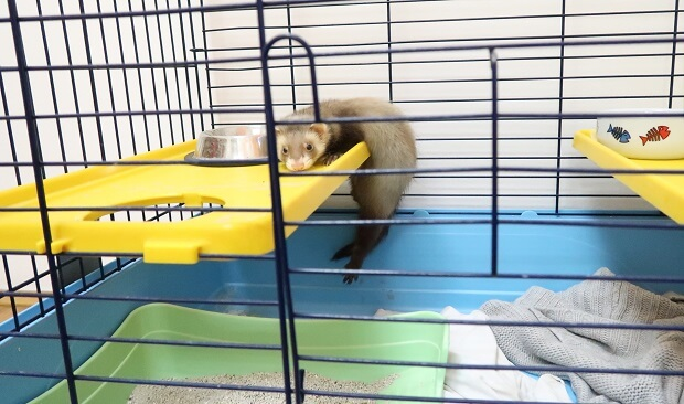 baby ferrets for sale near me