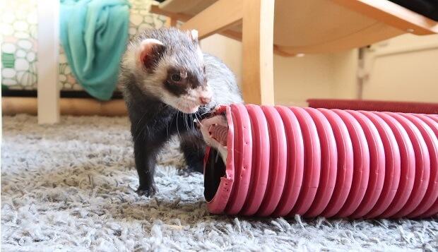 deaf ferret can be aggressive