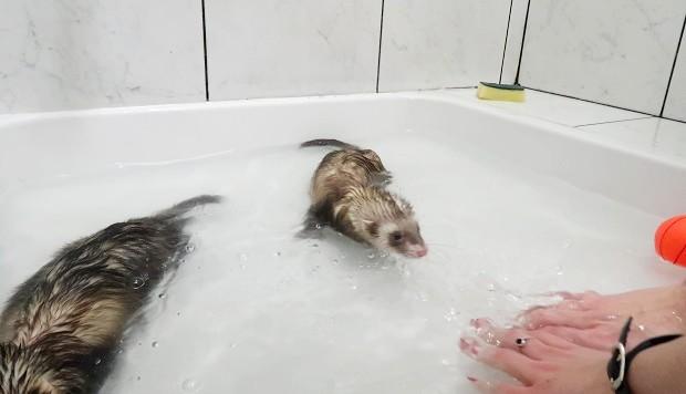 do ferrets like water