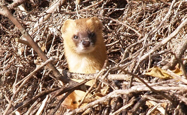 japanese ferret weasel
