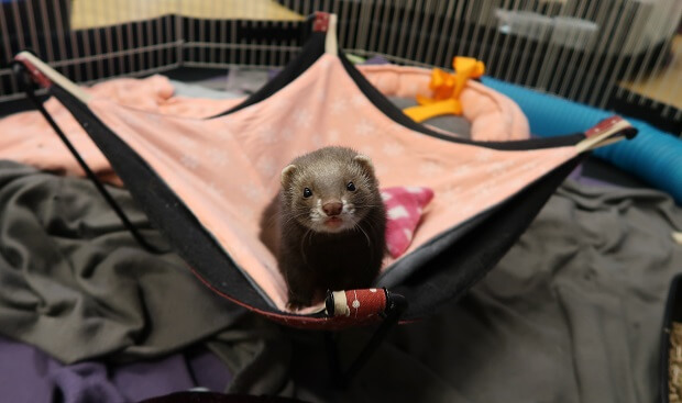 Ferrets from good breeders