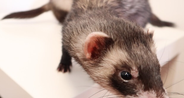 how do you clean a ferret's ears