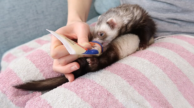 how to clean your ferret's ears with treats