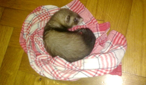 8 week old ferret