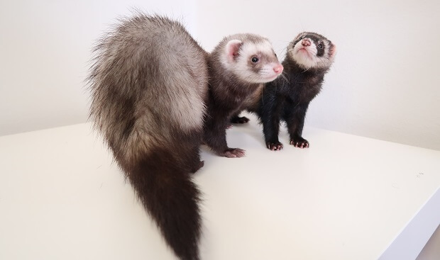 animal that looks like ferret