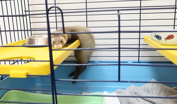 baby ferret in cage