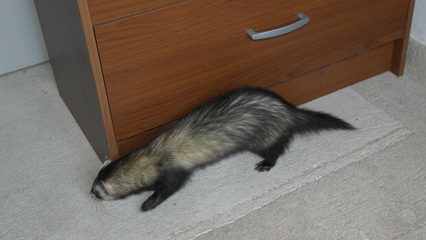 can i have a ferret as a pet
