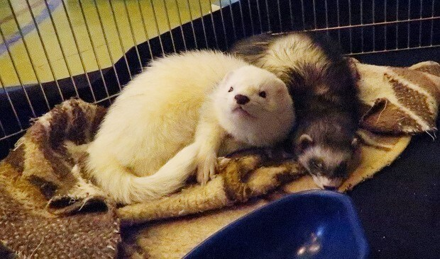 female and male ferret called