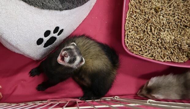 female ferret heat