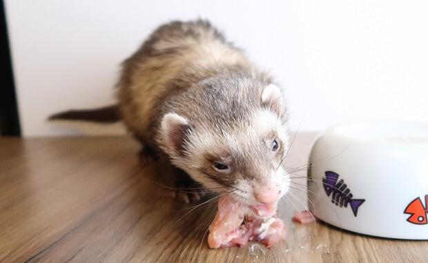 ferret diet food