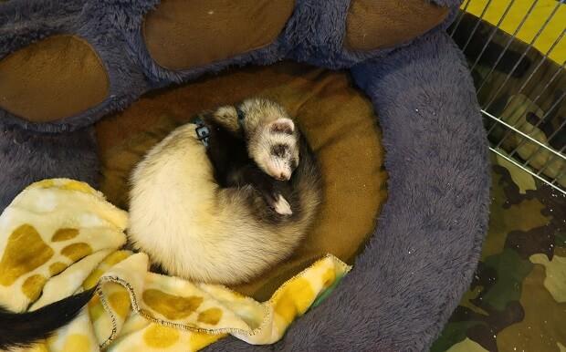 ferret is sleeping