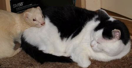 ferrets get along with cats