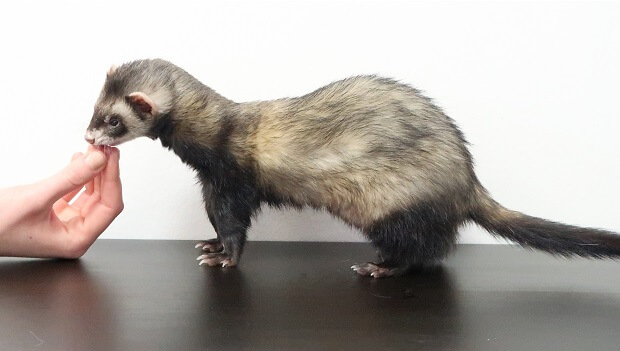 how does a ferret look like