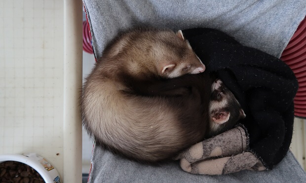 how to ferrets act as pets