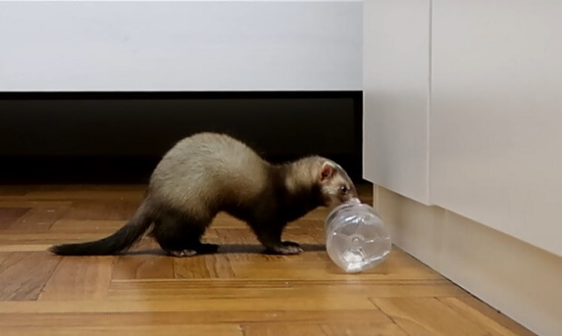 how to take care of a baby ferret