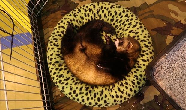 male ferret in heat