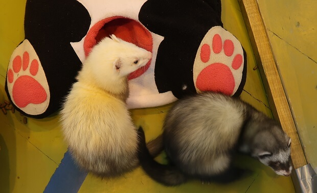 two types of ferrets