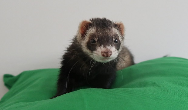 where can i buy a ferret near me