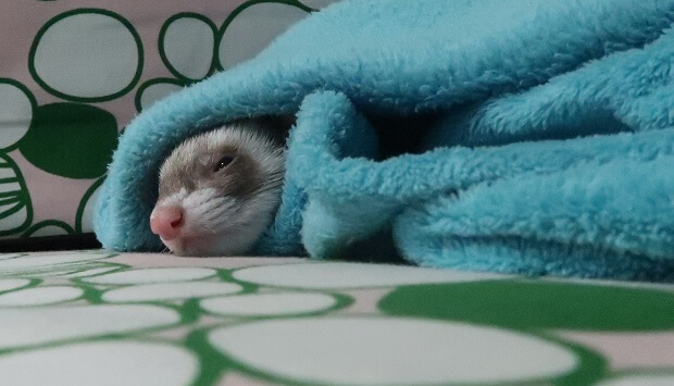 Traveling With Ferret During Winter