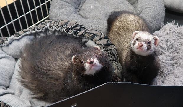 angora ferret and standard ferret