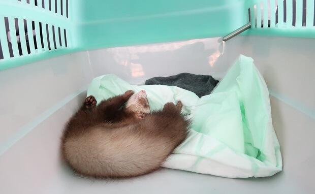 puppy pad in ferret transporter