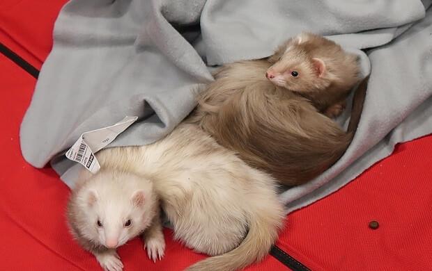 standard and angora ferret