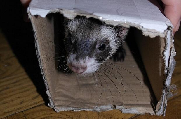 ferret is hiding