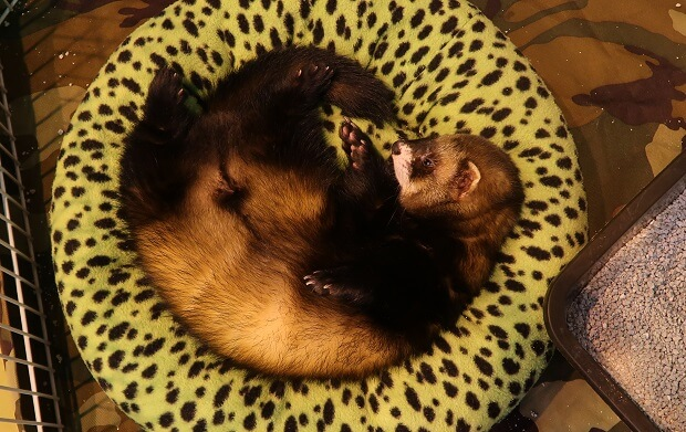 unaltered male ferret